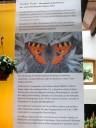 Info Schmetterling